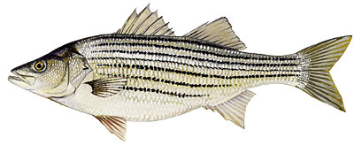 Arkansas Striped Bass, aka Striper or Rockfish